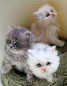 Out of these three adorable kittens we can't decide which to take home! Any would make the perfect pet.