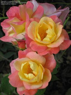 Full size picture of Floribunda Rose, Climbing Rose 'Joseph's Coat' (Rosa)