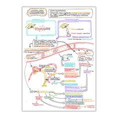 explicación simple del ciclo del nitrógeno de la diabetes