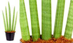 Lança de São Jorge,  Sansevieria cylindrica, rega a cada 15 dias, sem molhar as folhas, e mantida à meia-sombra.
