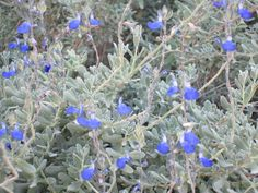 Mexican Blue Sage
