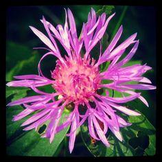 Fleur sauvage sur mon terrain en campagne