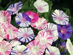 Check out the deal on Morning Glory (Ipomoea) Carnevale Venezia 250 seeds at Hazzard's Seeds Morning Glory Vine, Morning Glory Flowers, Morning Glories, Amazing Flowers, Pretty Flowers, Seed Shop, Cottage Garden Plants, Climbing Vines, Flowering Vines