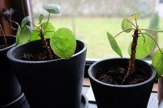 Pilea - sådan får du den smukkeste plante. Jeg har fundet en guide om planten pilea, som jeg simpelthen bliver nødt til at dele med dig! Læs mere lige her.