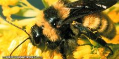 Wake Up Call — Bumble Bee Just Proposed for U.S. Endangered Species Status