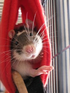 Freud's being a Goof by MinionofSloth on deviantART / Different pets that are rodents and everything related to them. Rodents type of. Rodents of unusual size. Animals And Pets, Baby Animals, Funny Animals, Cute Animals, Cute Rats, Cute Hamsters, Dumbo Rat, Les Rats, Rat Cage