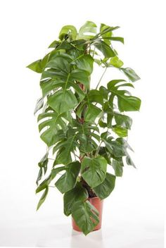 Philodendron Monstera (Gatenplant)