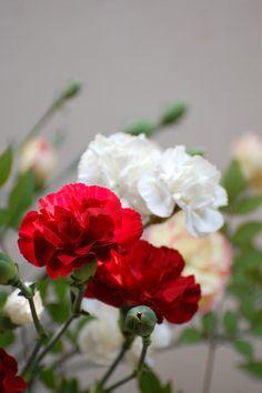 carnation001.jpg (425×639)