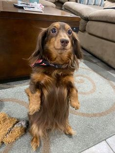 How A Dachshund Dog Defenses From Being Scolded 1 Dachshund Breed, Dachshund Puppies For Sale, Dapple Dachshund, Funny Dachshund, Dachshund Love, Funny Dogs, Dogs And Puppies, Funny Animals, Cute Animals