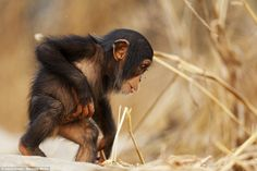 A tiny baby chimpanzee scampers through the scrubland, where he will be raised under caref...