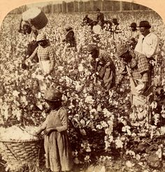 Black child picking cotton, plantation scene Georgia, USA. 189my mama picked cotton too and she was white , so it's no racist thing