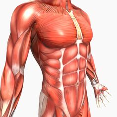 Pictures Of The Male Anatomy . Pictures Of The Male Anatomy Model Human Male Anatomy Cgtrader Leg Muscles Anatomy, Human Muscle Anatomy, Human Anatomy Model, Arm Anatomy, Anatomy Models, Human Anatomy And Physiology, Anatomy Drawing, Anatomy Art, Sport Motivation