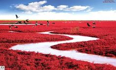 Panjin Red Beach, China. The Chenopodiaceae Sueda species is one of the few species of grass that can live in highly alkaline soil.  This causes unique growth characteristics, one of which is the grass to be a brilliant red color.