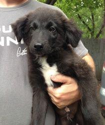 Golden Retriever Border Collie Mix Dog Breed Puppies