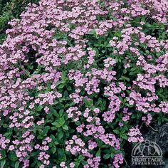 Rock Soapwort (saponaria ocymoides). Plants form a low mound of bright green leaves that are smothered by pink flowers that spill over my raised beds. Super hardy Zones 2-9.
