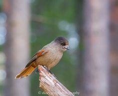 Behance : Woodland Birds Europe Siberian Jay