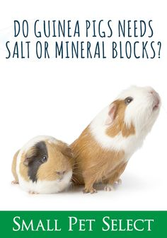 It's up to us to provide guinea pigs with a healthy, balanced diet. If you provide your cavy a healthy diet, are salt licks necessary? Vegan Spinach Artichoke Dip, Chicken Bacon Ranch Pizza, Dog Shaming, Healthy Pets, Pet Grooming, Pet Health, Guinea Pigs