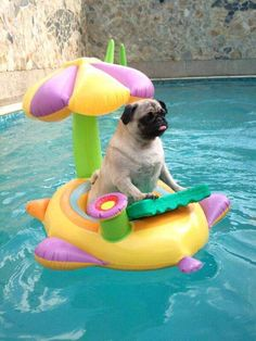 this is so freaking cute like what even it's a pug in a freaking swimming pool bask in his glory oh my god asdfghjkl