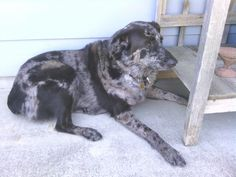 """Our Catahoula / Australian Shepherd is a perfect companion, and a wonderful family dog.  She is super smart and even says, """" I love you"""" when asked!"""