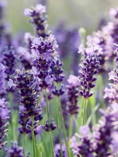 Lavender  Lavandula angustifolia 'Hidcote' flowers and foliage are popular additions to sachets and potpourris. Flowers appear in terminal spikes in late spring to early summer. Both foliage and flowers are highly aromatic.