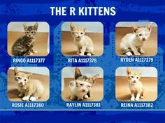 THE R KITTENS - A1117377, A1117378, A1117379, A1117380, A1117381, A1117382 - - Manhattan  *** TO BE DESTROYED 07/08/17 *** SIX ADORABLE 5 WEEK OLD KITTENS NEED YOU!!  THEY HAVE A URI, CONJUNCTIVITIS AND TESTED POSITIVE FOR RINGWORM!!  A FOSTER HOME IS NEEDED ASAP!  If you can foster, email Helpcats@urgentpodr.org and fill out the pre-screener. Please be in NYC or its close vicinity. -  Click for info & Current Status: http://nyccats.urgentpodr.org/the-r-kittens-a1117377-a