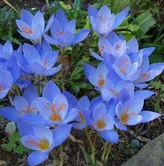 blue flowers autumn | Autumn Crocus Bulbs Amazing Blue Perennial Flowers Unique Fall ...