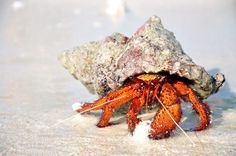 Hermit Crab Information