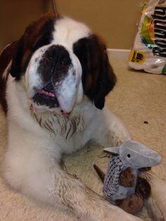Saint Bernard with a toy :)