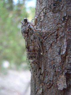 the song of cicadas