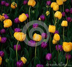Mardi Gras Tulips Background