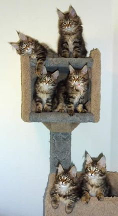 Maine Coon Cats Kittens of Cascade Mountain Main Coons Cattery - Vancouver, Washington