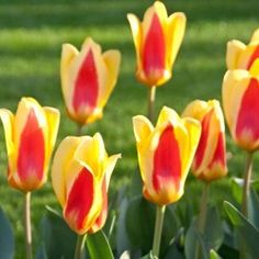 Rockery Tulip Stresa £4.50 per 25 (AWARD WINNING)