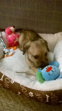 Strax in his bed and with his toys he picked out on the day I brought him home. Strax @ 7wks old. Love MY Schnug PUP Strax! October 2015