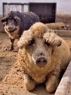 Mangalitsa pigs. Photo by Tamas Dezso for The New York Times