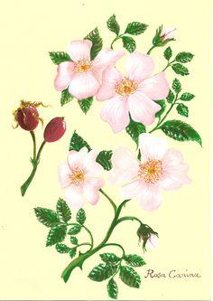 Rosa Canina L.luisa capparotto