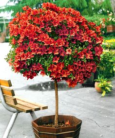 Standard Japanese Azalea | Trees and Shrubs from Spalding Bulb