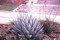 Agave havardiana,  Hardy Century Plant          Agave havardiana is a medium- to large-sized century plant, native to rocky grassland slopes (often alkaline) from west Texas into Mexico 4000'-6000'