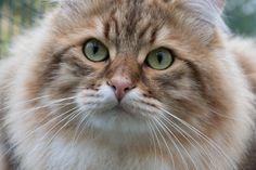 Siperiankissa uros Siberian cat male Repe Espoo Finland
