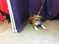 I am a spayed female, brown and tricolor Boxer mix. The shelter staff think I am about 7 months old. I have been at the shelter since Aug 13, 2013. For more information about this animal, call: San Bernardino, CA. City Animal Control at (909) 384-1304 Ask for information about animal ID number A443461 http://www.petharbor.com/pet.asp?uaid=SBCT.A443461