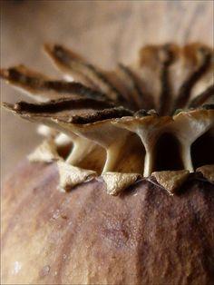 Poppy head | Mo | Flickr