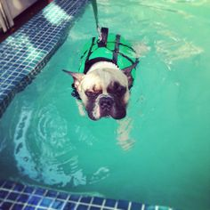 swimimg time #frenchbulldog