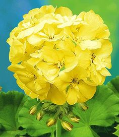 Wow! Geranium PAC® 'First Yellow® '