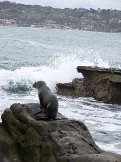 La Jolla, San Diego... Seals!
