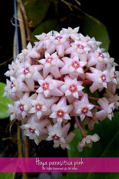 Hoya parasitica 'pink flower'