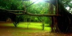 Árvore do Ibirapuera - Foto: Clarissa Moura