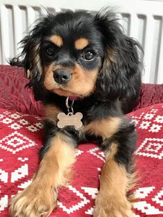 Black and Tan Cavalier Age 12 Months King Charles Puppy, Cavalier King Charles Dog, King Charles Spaniel, Cute Little Puppies, Cute Little Animals, Cute Puppies, Cute Animal Pictures, Dog Pictures, Cavalier King Spaniel