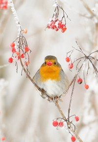 Robin In Winter Bird SpeciesBeautiful BirdsBird FeathersRobin