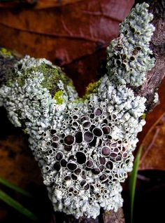 During winter months, sometimes lichens are all there is to photograph. YEAHHH SauriaMami/Carla Wick