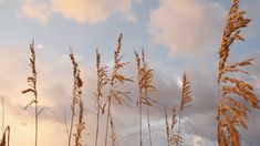 Sea oats gently blow in the breeze during sunrise and Pensacola Beach, Florida. Beach Sunset Photography, Landscape Photography, Nature Photography, Travel Photography, Aesthetic Movies, Film Aesthetic, Aesthetic Videos, Rouge Hair, Summer Vibe