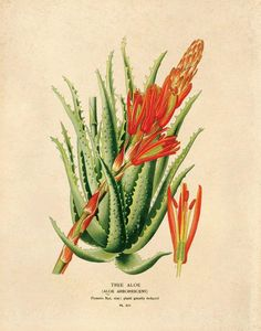 Vintage Botanical Tree Aloe Succulent Print - 8x10 - 8x10 Print